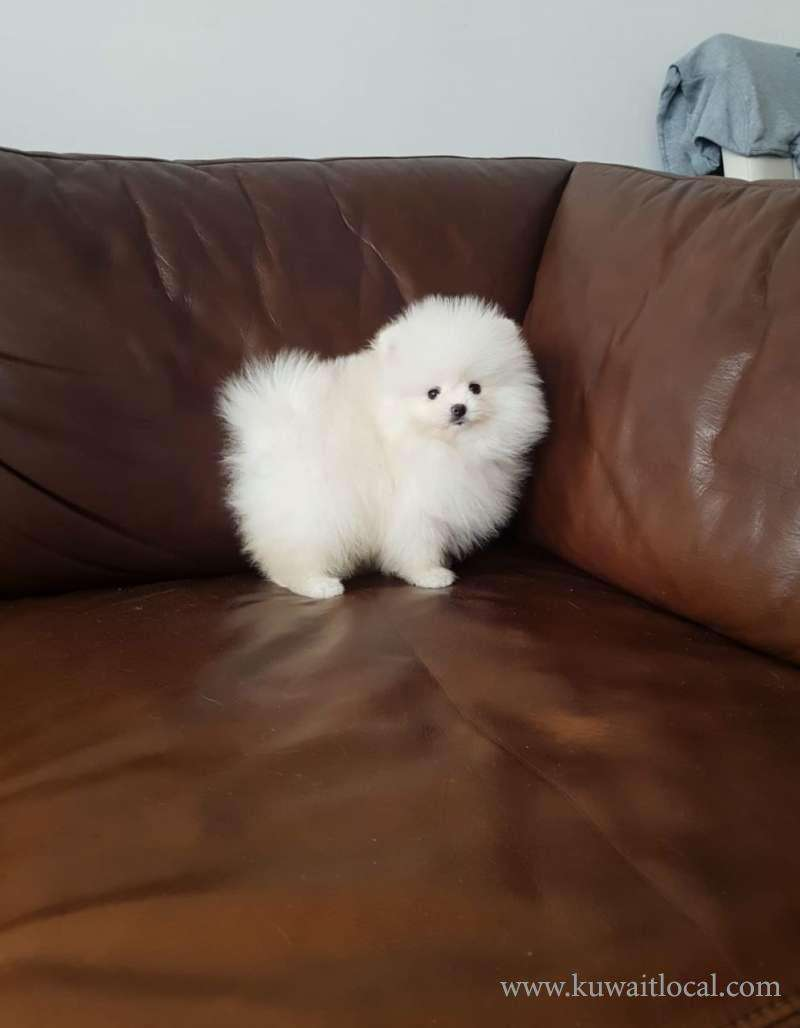 Teacup Miniature Pomeranian Puppies For Sale Dogs And Puppies For Sale Online Kuwait Local
