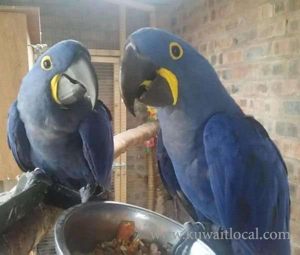 two-hyacinth-macaw-parrots-for-sell-kuwait