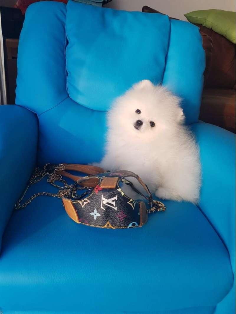 sweet--playful-teacup-pomeranian-puppies-for-sale-kuwait