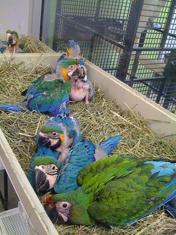 macaw-parrots-for-sale-kuwait