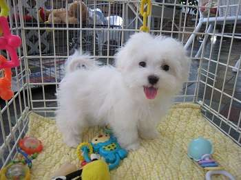 teacup-puppies-available-for-adoption--kuwait