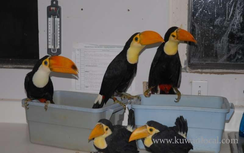 vaccinated-baby-toco-toucan-for-sale-kuwait