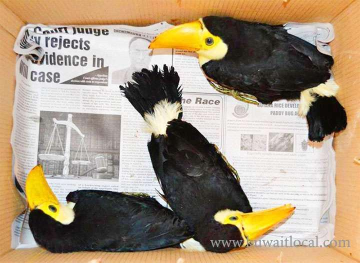 all-babies-toucans-we-breed-are-guaranteed--kuwait