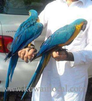 pairs-of-blue-and-gold-macaws-available-for-sale-kuwait