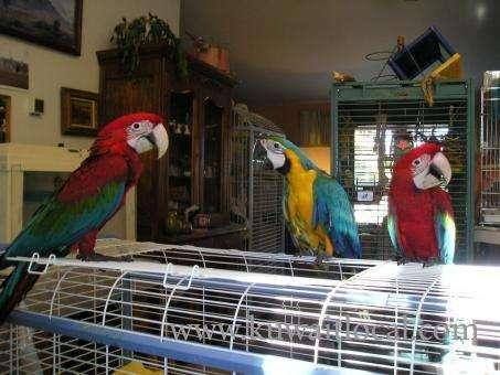 captive-pets-parrots-ready-as-companions-on-sale-kuwait