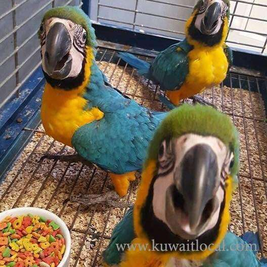blue-and-gold-macaw-kuwait
