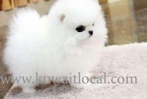 teacup-pomeranian-puppies-for-adoption-into-good-homes-only-kuwait