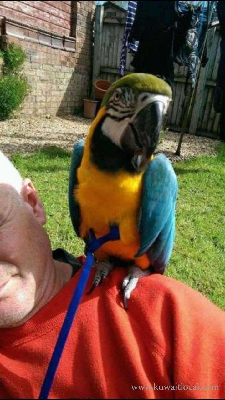 gold-and-blue-macaw-parrots-kuwait