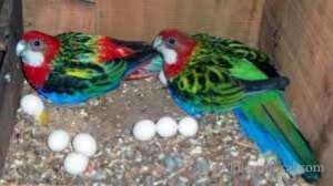 Parrots And Fertile Parrot Eggs For Sale in kuwait