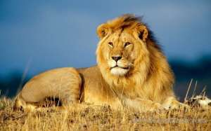 egyptian-frightened-by-kuwaiti-with-his-lion,-lion-seized_kuwait