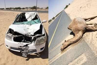 an-indian-injured-when-his-vehicle-hit-camel_kuwait