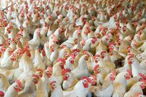 kuwait-suspends-poultry-imports-from-three-countries_kuwait