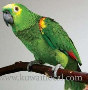 parrot-accidentally-exposes-cheating-husband-to-wife_kuwait