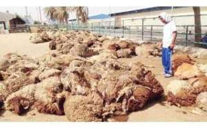 due-to-high-temperature-and-bad-vessel-1200-sheep-dead_kuwait